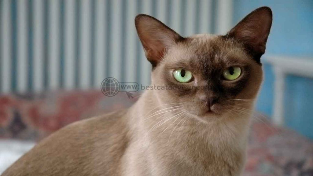 Top 10 Best Cats for Apartment Living 6