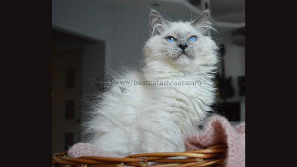 Top 10 Best Cats for Apartment Living 7