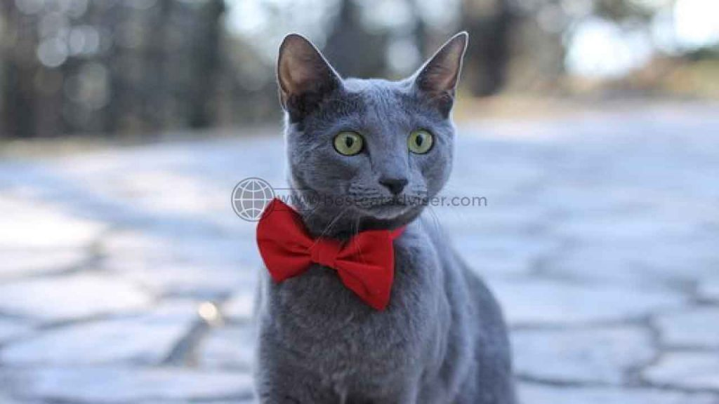 Top 10 Best Cats for Apartment Living 5