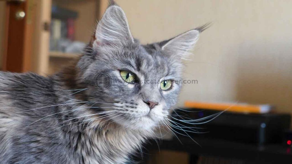 Top 10 Best Cats for Apartment Living 3